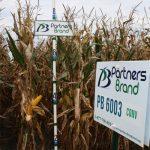 PB 6003 Conventional Seed Corn