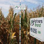 PB 6255 Conventional Seed Corn