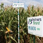PB 6474 Conventional Seed Corn
