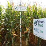 PB 7472 Conventional Seed Corn