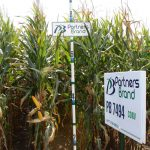 PB 7494 Conventional Seed Corn
