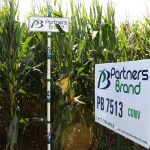 PB 7513 Conventional Seed Corn