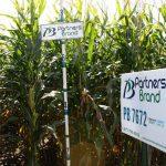 PB 7672 Seed Corn