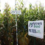 PB 7826 Leafy High Oil Corn