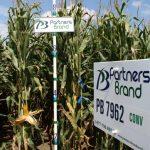 PB 7962 Conventional Seed Corn