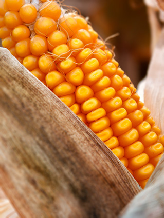 High-Oil Corn