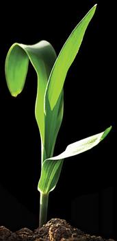 Seed Corn