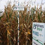 PB 6003 Seed Corn