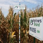 PB 6255 Conventional Seed Corn