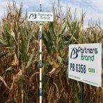 PB 6358 Conventional Seed Corn