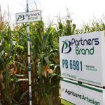 PB 6981 Conventional Seed Corn