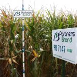 PB 7147 Conventional Seed Corn