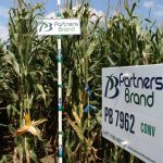 PB 7962 Conventional Seed Corn