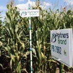PB 7962 Seed Corn