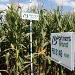 PB 8146 Waxy Seed Corn