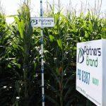 PB 8387 Waxy Seed Corn